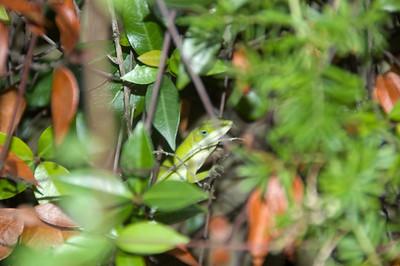 An annolie lizard shows up