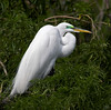 Great Egret <i>Ardea alba</i> Gatorland, Orlando, FL - February, 2007