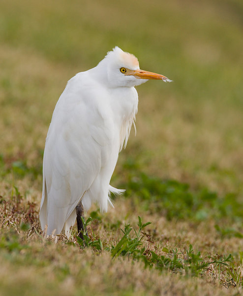 Cattle Egret <i>Bubulcus ibis</i> Vierra Wetlands, FL - February, 2007