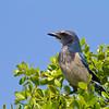 Florida Scrub Jay - Osprey, FL - April 2012