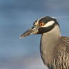 Yellow-crowned Night Heron - Venice - April 2012