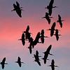 White Ibis coming in to roost