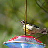 2/26/09<br /> <br /> BANANAQUIT<br /> <br /> This beautiful little bird was photographed in the Bahamas, in Nassau.  They are found mostly in the Caribbean and West Indies.  I wonder if this one is a female.  Most photos show the yellow breast all the way up the breast.  They are also known as Honey Creepers and are attracted to sweet nectars like the hummingbirds.  This bird was at the  sugar water feeder of our guide's friend.