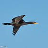 Double Brested Cormorant
