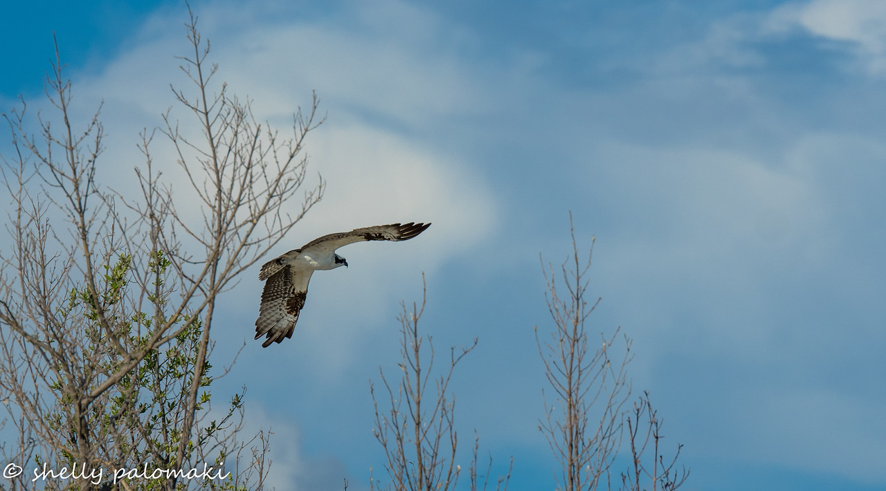 Osprey take off