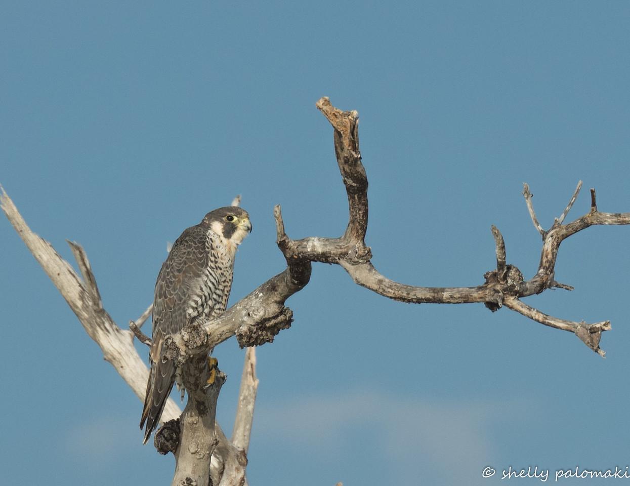 Perigirne Falcon