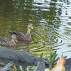 Green Winged Teals