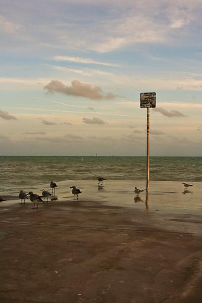 Key Gulls