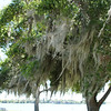 Spanish Moss is not part of the host tree. It absorbs food and moisture from the air in warm humid climates.