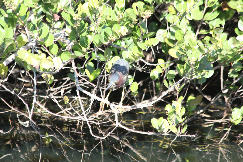 April 23, 2012 (Everglades National Park [near Shark Valley visitor center] / Miami-Dade County, Florida) -- Green Heron