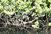 April 23, 2012 (Everglades National Park [near Shark Valley visitor center] / Miami-Dade County, Florida) -- Green Heron