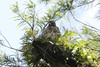 April 22, 2012 (Corkscrew Swamp Sanctuary [boardwalk] / Collier County, Florida) -- Sub-adult Red-shouldered Hawk