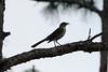 April 20, 2012 (Babcock-Webb State Wildlife Management Area [Oil Drilling Road] / Punta Gorda, Charlotte County, Florida) -- Northern Mockingbird with bug for dinner