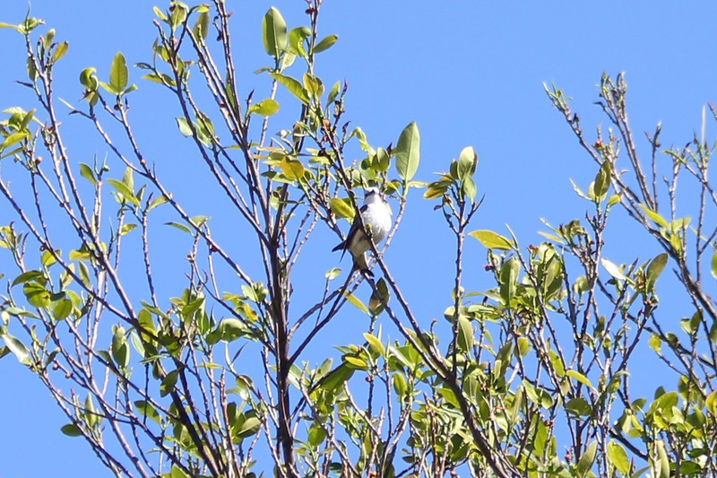 April 25, 2012, (Fort Zachary Taylor State Park / Key West, Monroe County, Florida) -- Female Scissor-tailed Flycatcher