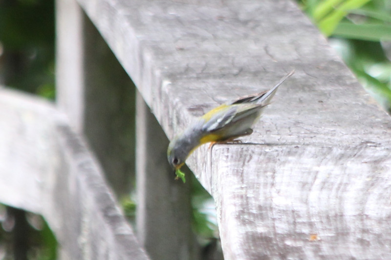 April 22, 2012 (Corkscrew Swamp Sanctuary [boardwalk railing] / Collier County, Florida) -- Nortnern Parula with dinner