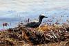 April 25, 2012, (Bahia Honda State Park [at roadside bridge] / Bahia Honda Key, Monroe County, Florida) -- Black-bellied Plover