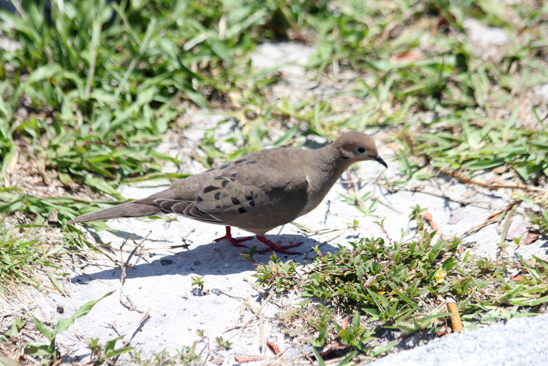 April 25, 2012, (Bahia Honda State Park [outside restrooms] / Bahia Honda Key, Monroe County, Florida) -- Common Ground Dove