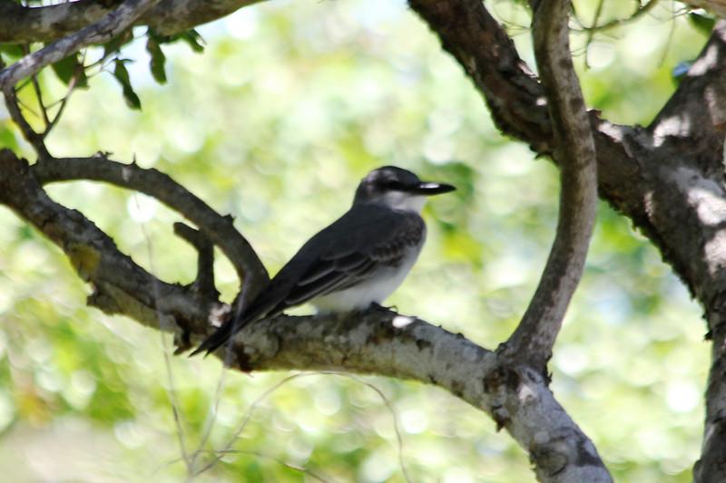 April 25, 2012, (Bahia Honda State Park [campgrounds] / Bahia Honda Key, Monroe County, Florida) -- Gray Kingbird