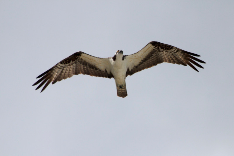 Osprey @ Sanibel Lighthouse
