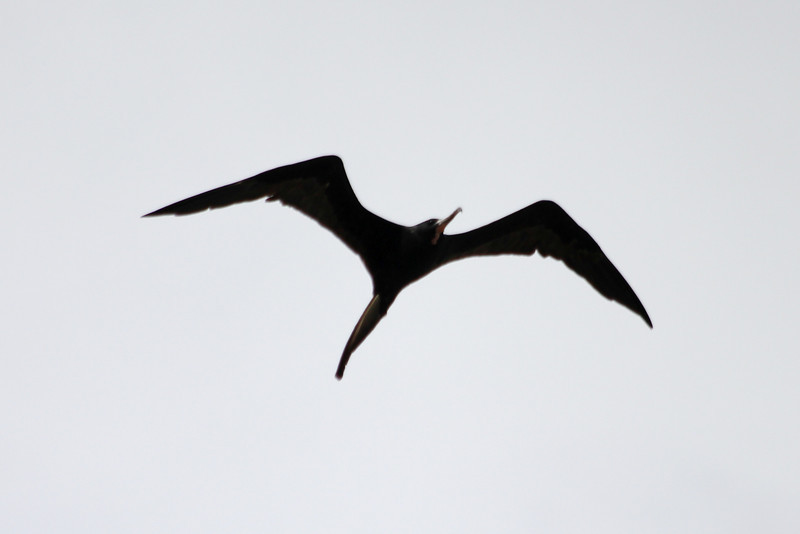 April 28, 2012 (Sanibel Lighthouse / Sanibel Island, Lee County, Florida) -- Male Magnificent Frigatebird