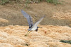 April 21, 2012 (Harnes Marsh [near Harnes Marsh Elementary School] / Lehigh Acres, Lee County, Florida) -- Tricolored Heron