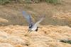 April 21, 2012 (Harnes Marsh [near Harnes Marsh Elementary School] / Lehigh Acres, Lee County, Florida) -- Tricolored Heron