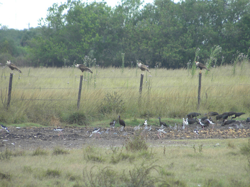 April 21, 2012 (Hendry County [farm field near Highways 82 & 29 intersection] -- Hendry County, Florida) -- Crested Caracara on fence posts above many Glossy Ibis, Black-necked Stilts, and Yellowlegs