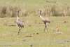 April 27, 2012, (Kissimmee Prairie Preserve State Park / Okeechobee County, Florida) -- Sandhill Cranes with colt [Non-migratory Florida sub-species]