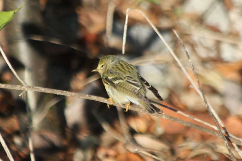 April 25, 2012, (Fort Zachary Taylor State Park / Key West, Monroe County, Florida) -- Female Blackpoll Warbler