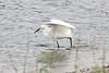 April 21, 2012 (Harnes Marsh / Lehigh Acres, Lee County, Florida) -- Snowy Egret fishing