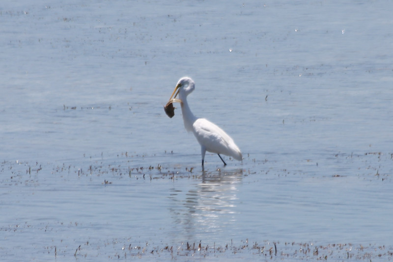 April 25, 2012, (Lower Sugarloaf Sound / Sugarloaf Key, Monroe County, Florida) -- Great Egret with fish dinner