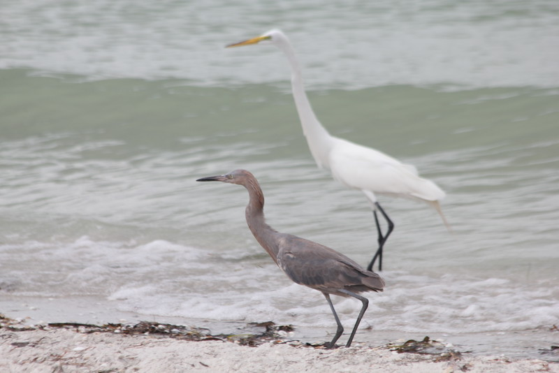 April 28, 2012 (Sanibel Lighthouse [near fishing pier] / Sanibel Island, Lee County, Florida) -- Reddish Egret and Great Egret