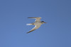 April 25, 2012, (Naval Air Station Key West [over harbor] / Key West, Monroe County, Florida) -- Least Tern