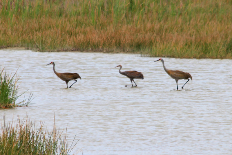 Sandhill Cranes @ Harns Marsh