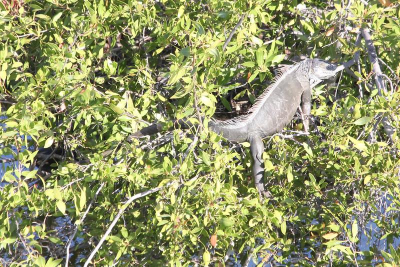 April 25, 2012, (Fort Zachary Taylor State Park / Key West, Monroe County, Florida) -- Iguana