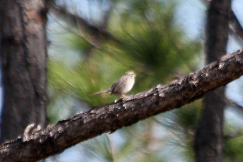April 28, 2012 (Babcock-Webb State Wildlife Management Area [Tucker Grade Road] / Punta Gorda, Charlotte County, Florida) -- Bachman's Sparrow