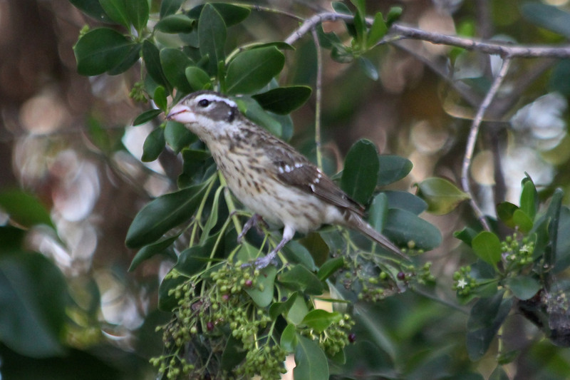 April 25, 2012, (Fort Zachary Taylor State Park / Key West, Monroe County, Florida) -- Female Rose-breasted Grosbeak