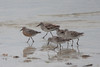 April 21, 2012 (Bunche Beach / Fort Myers, Lee County, Florida) -- Some of the 16 Red Knots we observed