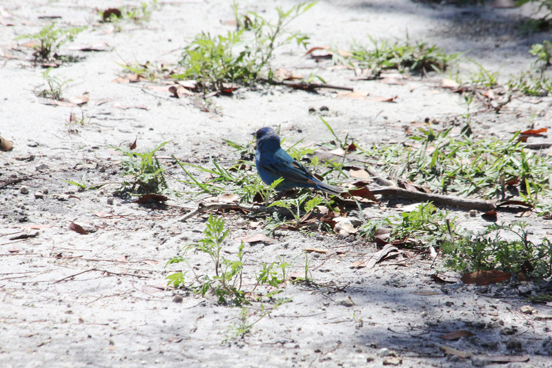 April 23, 2012 (Everglades National Park [near Shark Valley observation tower] / Miami-Dade County, Florida) -- Indigo Bunting