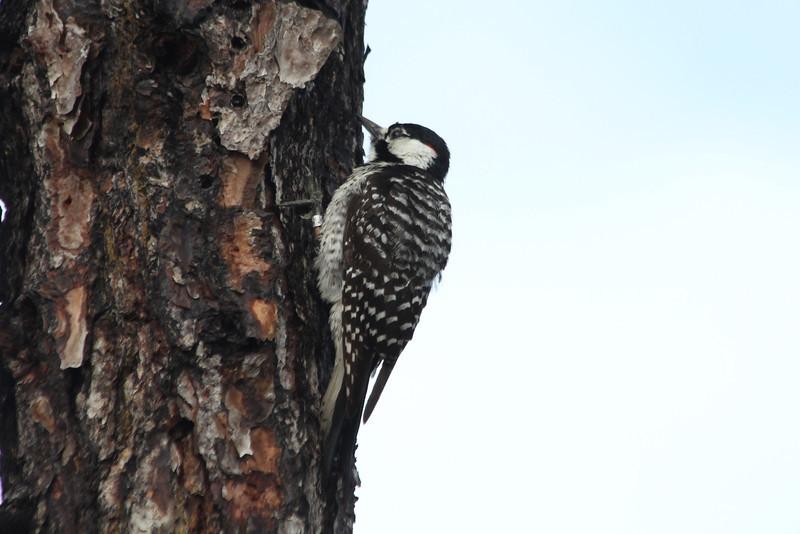 April 22, 2012 (Babcock-Webb State Wildlife Management Area / Punta Gorda, Charlotte County, Florida) -- Red-cockaded Woodpecker