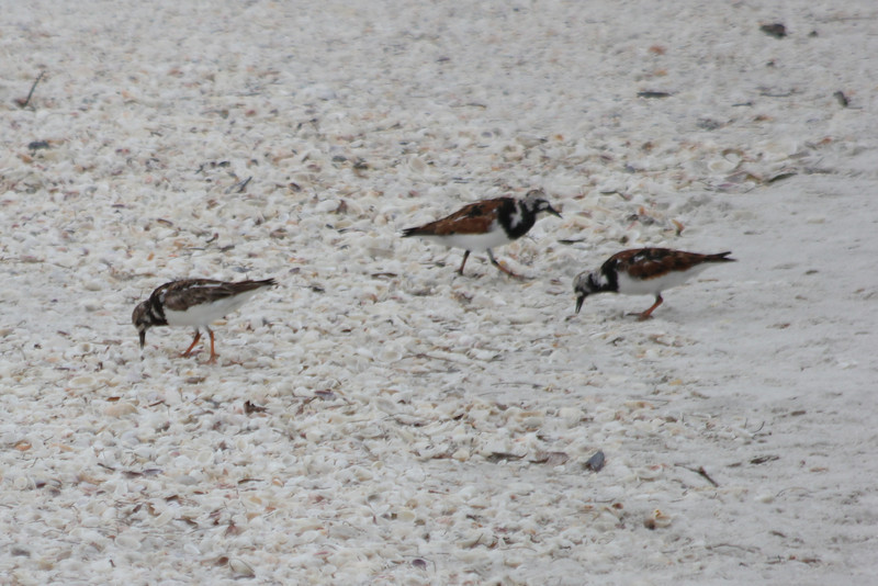 April 28, 2012 (Sanibel Lighthouse [near fishing pier] / Sanibel Island, Lee County, Florida) -- Ruddy Turnstones