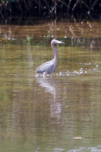 April 28, 2012 (JN Ding Darling National Wildlife Refuge [wildlife drive] / Sanibel Island, Lee County, Florida) -- Reddish Egret