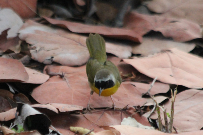 April 23, 2012, (Fort Zachary Taylor State Park / Key West, Monroe County, Florida) -- Common Yellowthroat