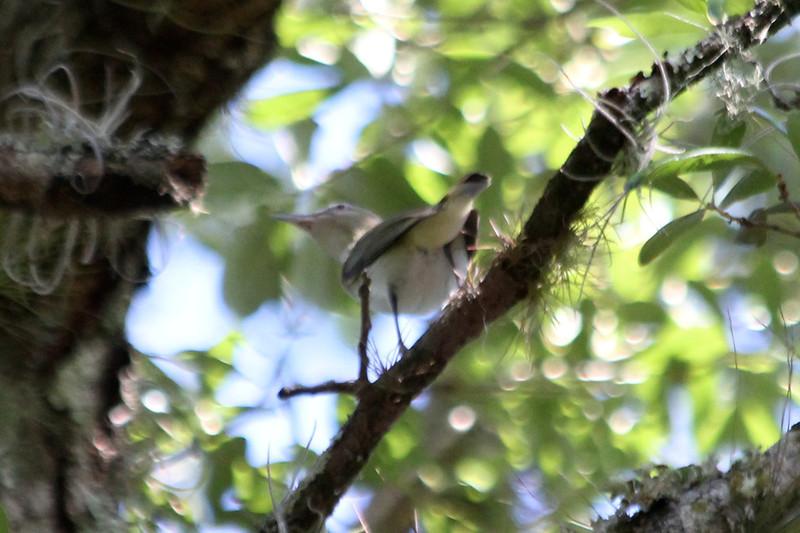 April 27, 2012, (Fisheating Creek Wildlife Management Area / Glades County, Florida) -- Black-whiskered Vireo