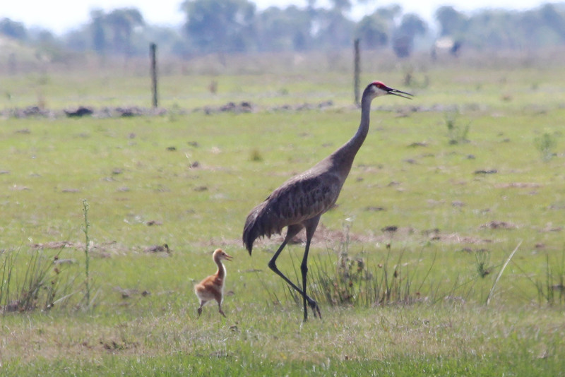 April 27, 2012, (Kissimmee Prairie Preserve State Park / Okeechobee County, Florida) -- Sandhill Crane with colt [Non-migratory Florida sub-species]