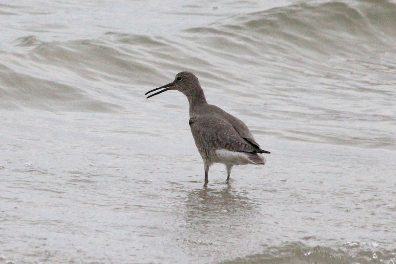 April 21, 2012 (Bunche Beach / Fort Myers, Lee County, Florida) -- Willet