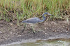 Tricolored Heron @ Harns Marsh