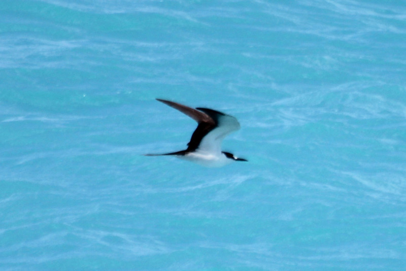 "April 24, 2012, (Dry Tortugas National Park [from ""Yankee Freedom II""] / Monroe County, Florida) -- Sooty Tern"
