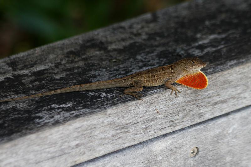 April 22, 2012 (Corkscrew Swamp Sanctuary [entrance] / Collier County, Florida) -- Small male Lizard