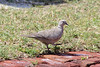 April 24, 2012, (Dry Tortugas National Park [at Fort Jefferson entrance] / Garden Key, Monroe County, Florida) -- Eurasian Collared Dove
